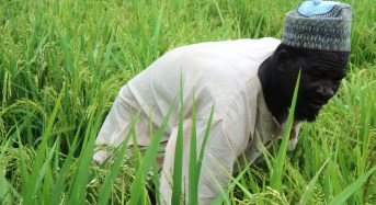 INVESTIGATION: In Kebbi, farmers — men and women — are stiff competitors in the rice race