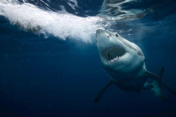 DISCOVERY CHANNEL'S SHARK WEEK 2020 SWIMS ONTO