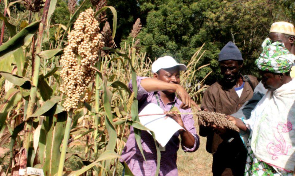 Farmers visiting sorghum field.