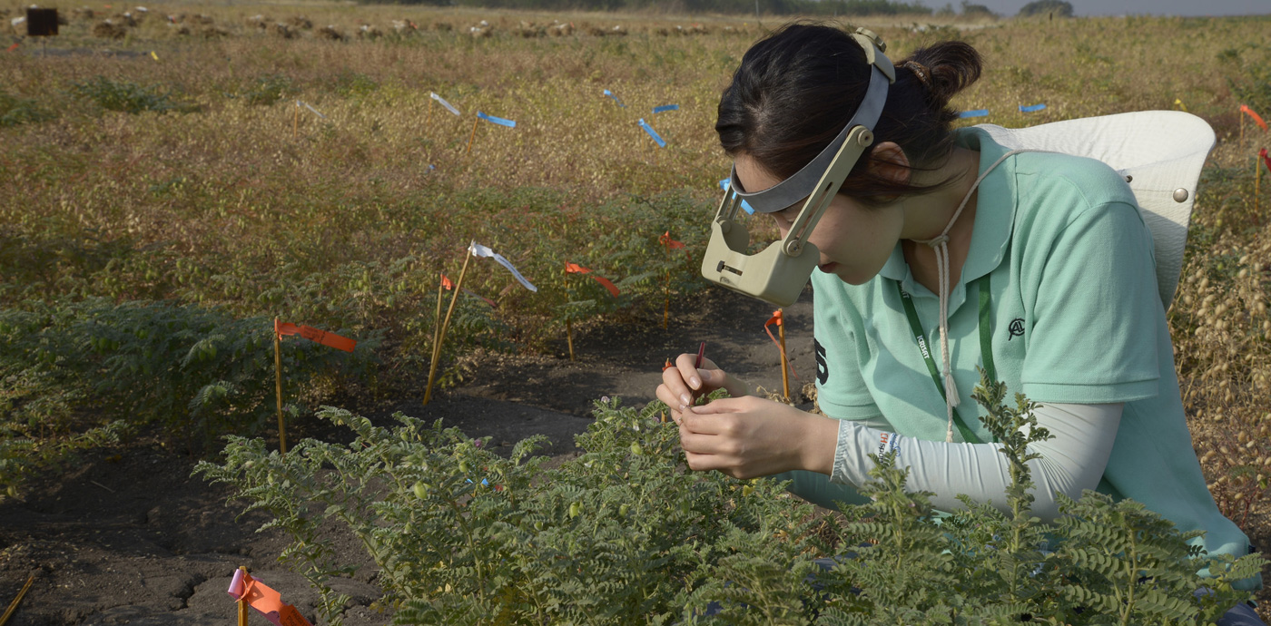 A trainee examining a chickpea plant Photo: ICRISAT