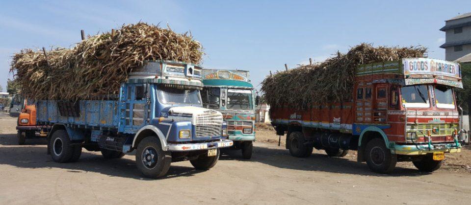 Sweet sorghum stalks being transported to sugar mills. Photo: A Ashok Kumar, ICRISAT