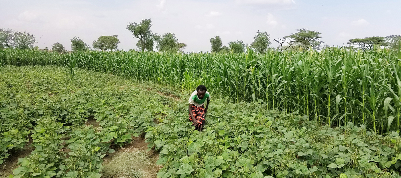 The once bare terrain of the project site at Chifra, now boasts of farms. Photo: T Amede, ICRISAT