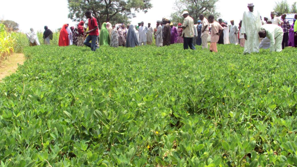 Farmers examining a groundnut farm cultivating new varieties. ICRISAT File Photo.