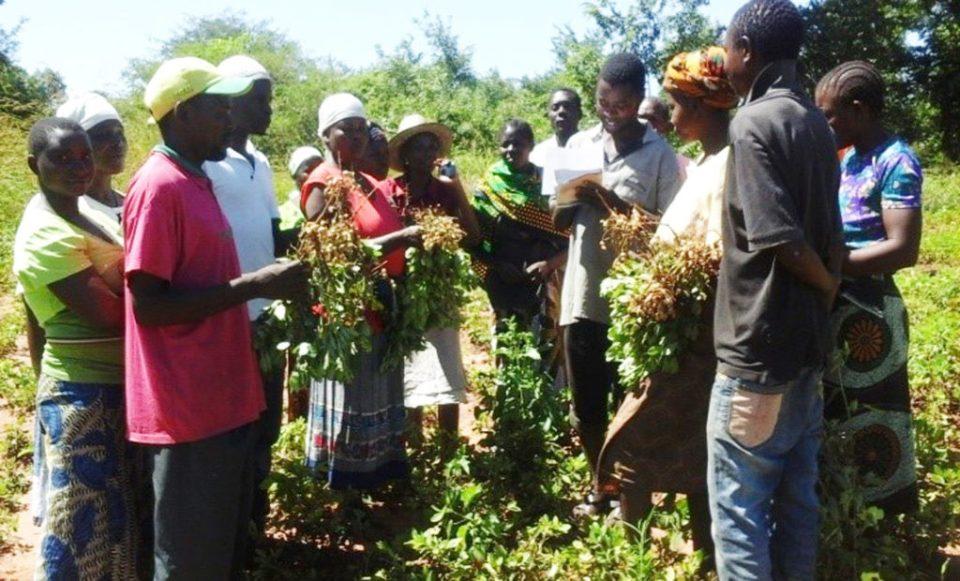 Farmers at Lukuledi village, Masasi district, explain why they prefer Pendo