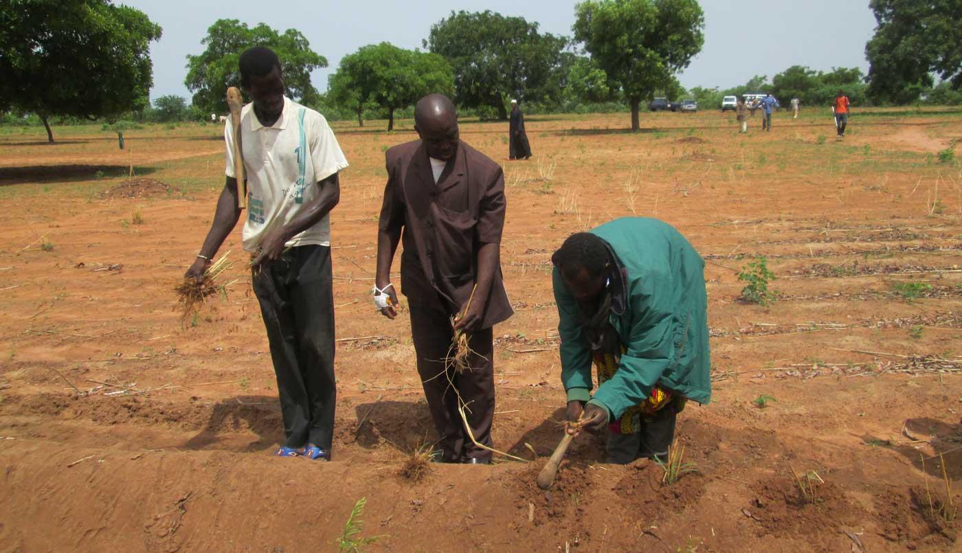 Farmers planting Andropogon grass on contour bunds