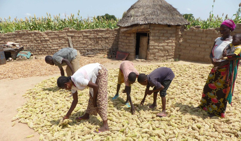Mr Kosima Kaboré with his family spread panicles of improved sorghum under the sun. Photo: M Magassa, ICRISAT