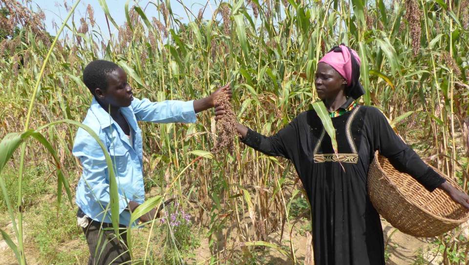 Mr Hamidou Kaboré and his wife during harvest of improved varieties Jakunbe and ICSV 1049. Photo: M Magassa, ICRISAT