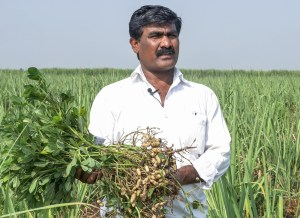 Tukaram Maruthi Kadam, a farmer in Maharashtra's Sangli, holds aloft a harvested ICGV 03043 plant. Photo: PS Rao, ICRISAT
