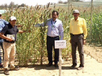 ICBA and ICRISAT scientists standing next to an experimental pearl millet field in Dubai. Climate challenges have made pearl millet attractive in regions outside the crop's traditional habitat. Photo: ICRISAT