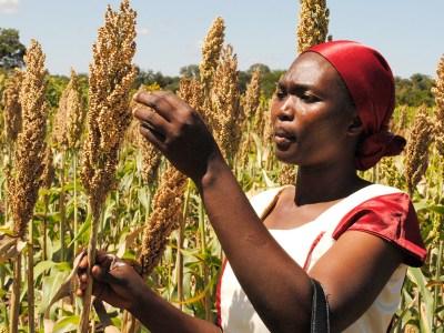A farmer in her sorghum field in Tanzania. File Photo: ICRISAT