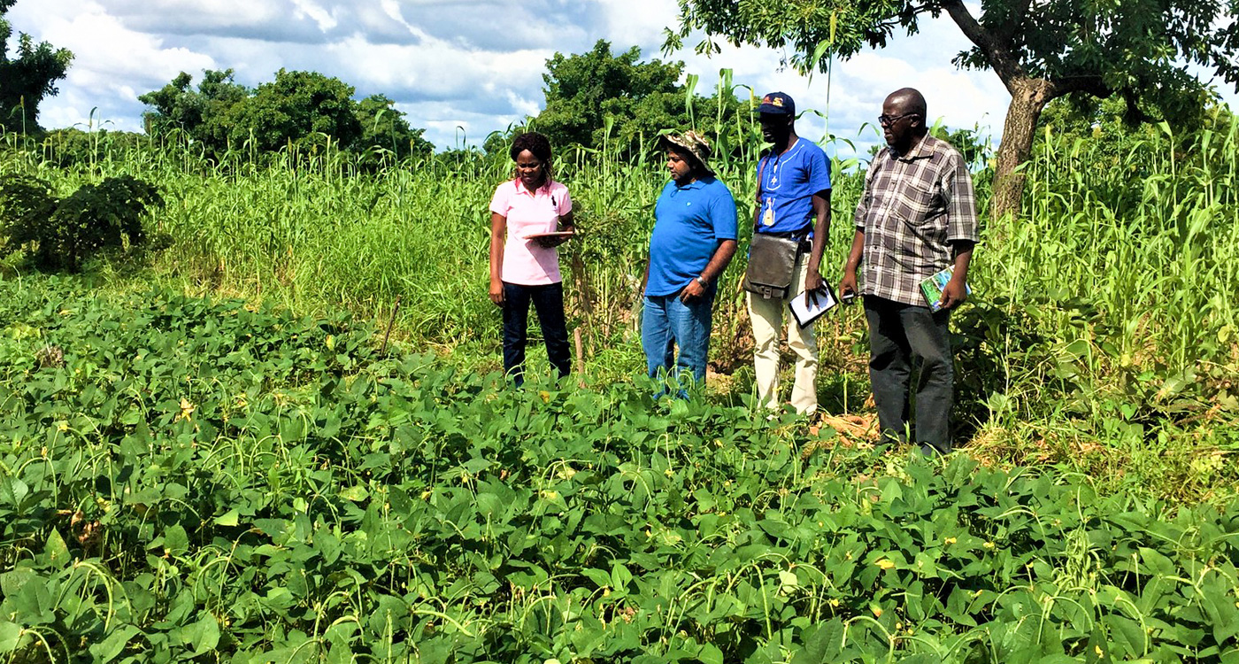 Cowpea field trials in Burkina Faso. Photo: N Mishra, ICRISAT