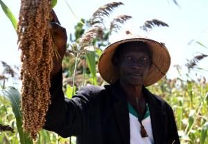 A sorghum farmer in Mali displaying his crop.