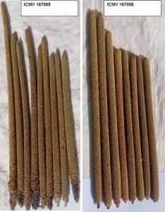 Head length of ICMV 167005 and ICMV 167006. photo: Prakash Gangashetty, ICRISAT, Niger.