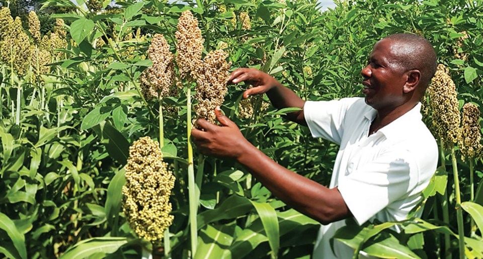 A technician inspecting a sorghum/pigeonpea intercrop trial in Salima district, Malawi. Photo: L Lazarus, ICRISAT