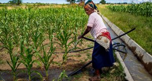 Zimbabwean farmer irrigates her field. Photo: A Van Rooyen, ICRISAT