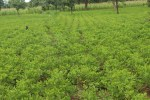 A groundnut field. Image used for representational purpose. File Photo