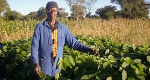 Farmer investing in Mucuna for livestock feed. Photo: Patricia Masikati