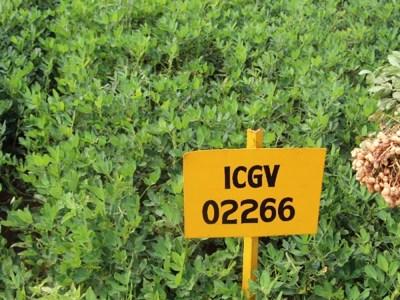 New groundnut variety 'Kalinga Groundnut-101' (ICGV 02266) released in Odisha state of India. Photo: D Deshmukh, ICRISAT