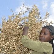Chickpea farmer in Ethiopia. Photo: ICRISAT