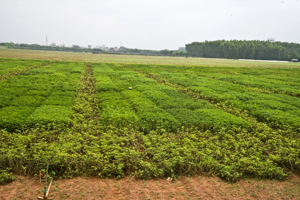 Foliar fungal disease screening nursery at ICRISAT-India with infector rows and test entries. Photo: P Janila, ICRISAT