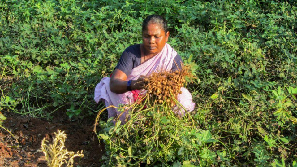 Women tribal farmer harvesting groundnut in her field. Photo: Sangeeta Takkele, ICRISAT