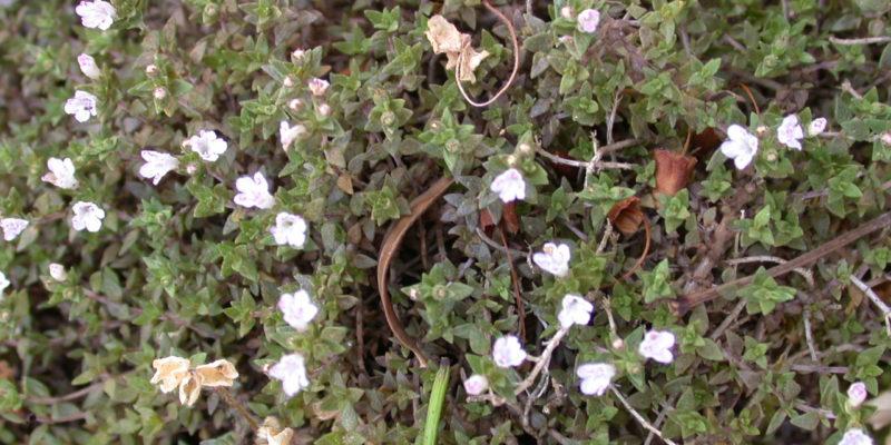 M3-Thymus-herba-barona