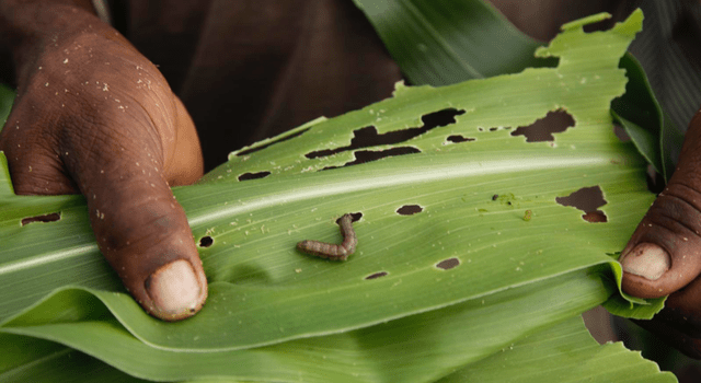 fall armyworm tech prize