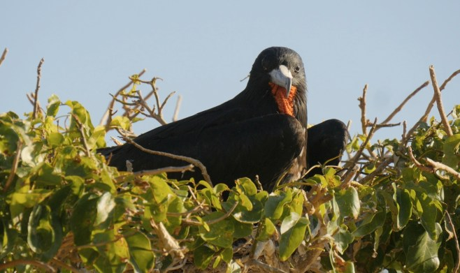 A male Frigatebird looks curiously back at the camera from his roost.
