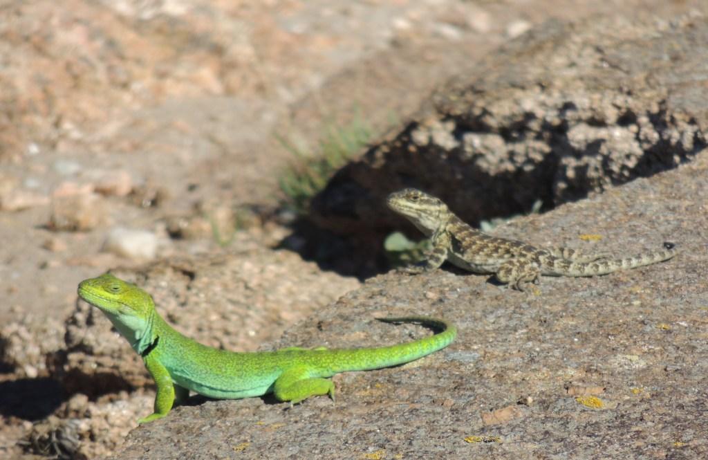 Registran un caso de canibalismo en un emblema de las sierras cordobesas: el lagarto de Achala