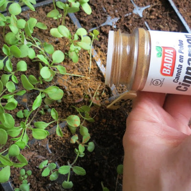 Sprinkle-Cinnamon-On-The-Soil-Surface