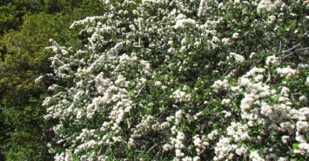 05-ceanothus-cuneatus-vista-media-medium