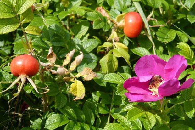 rose-412459_960_720