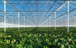 Large Dutch industrial greenhouses lead the innovation charge. Copyright Wikimedia
