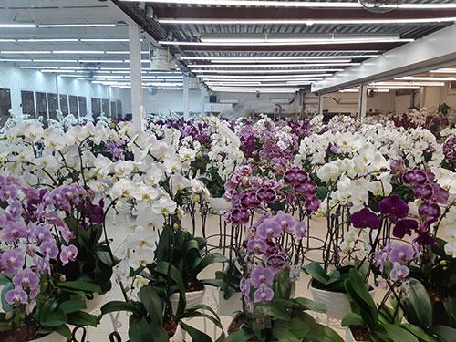 Pépinière d'orchidées à Rungis