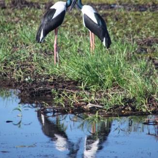 Jabiru storks on the wetlands