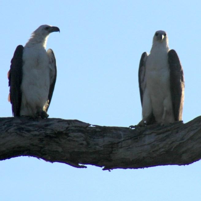 Sea eagles - surveying their empire