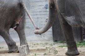 Zoo Rapperswil - Elefanten-130623