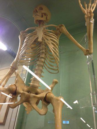 Specola_anatomie_squelette