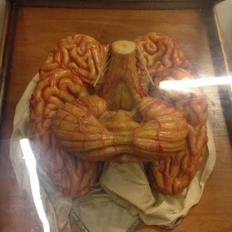 Specola_anatomie_cerveau