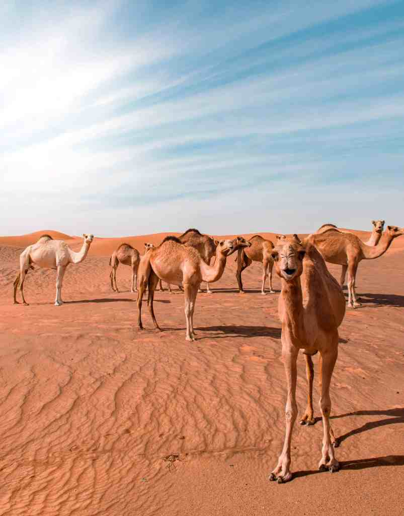 20 photos to inspire you to visit Abu Dhabi - Camels