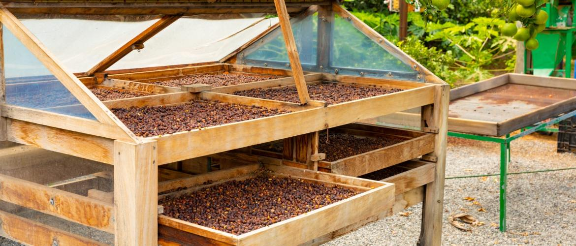 Organic Coffee Beans Drying In Crates Outdoor