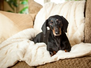 banyan-pet-photography-daschund