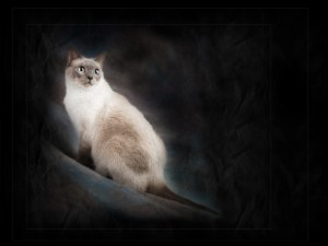 banyan-pet-photography-siamese-cat
