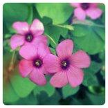 Oxalis o acetosella rosa