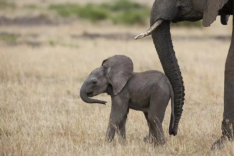 Elephants Animal Animals Calf: Animal Moms And Their Babies By Photographer Suzy Eszterhas
