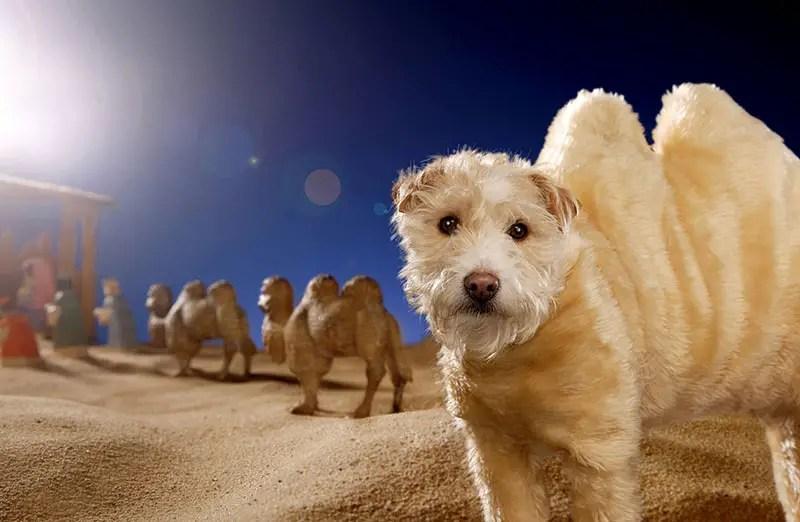 dog as camel