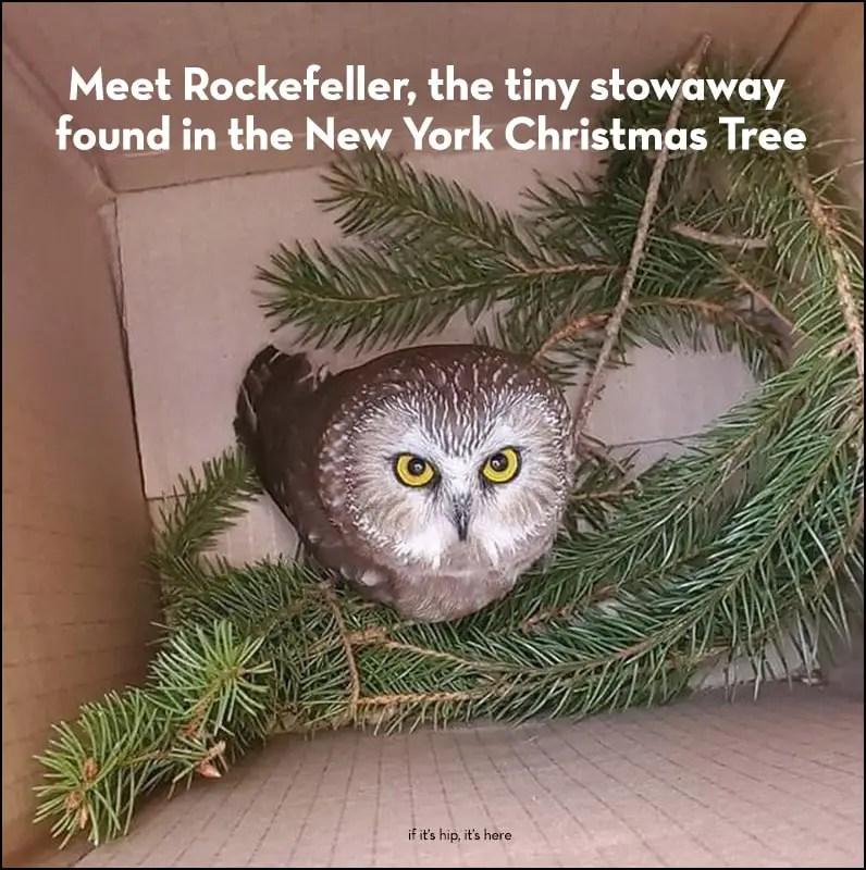owl found in chritsmas tree