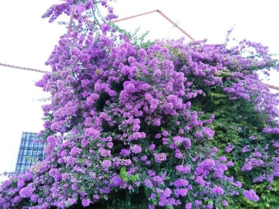 fiori ad Alfama