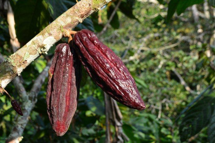 fiore di cacao