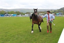 Welsh cob champion Lidgett Charmaine